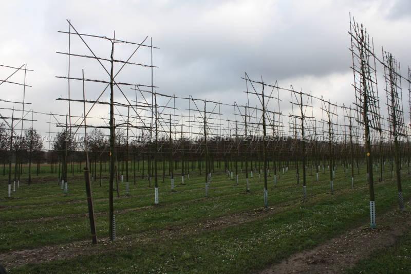 Питомник деревьев продажа саженцев