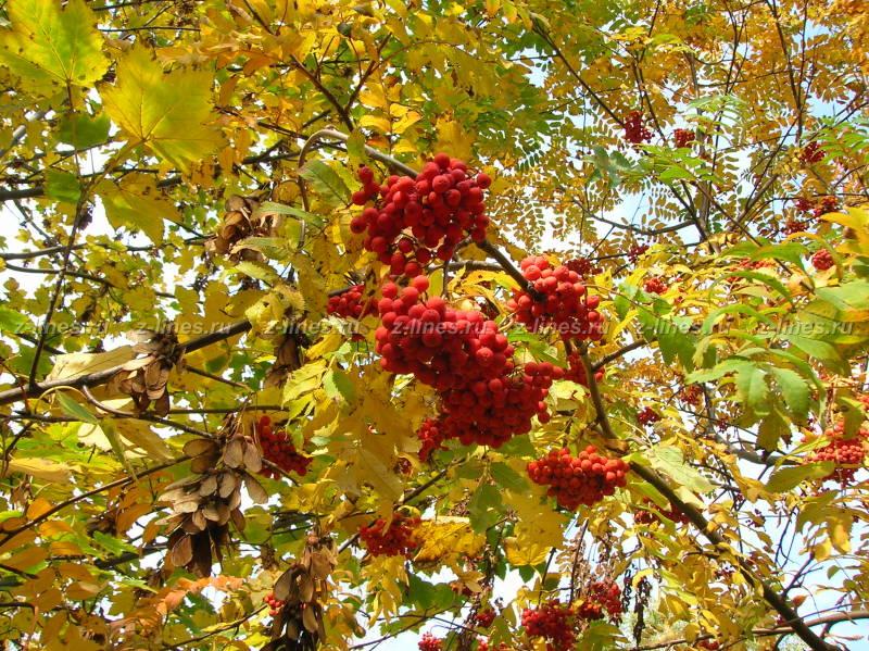 Черноплодная рябина фото дерева