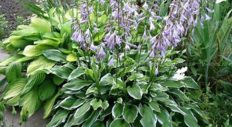 Садовый многолетние цветы фото и названия садовые