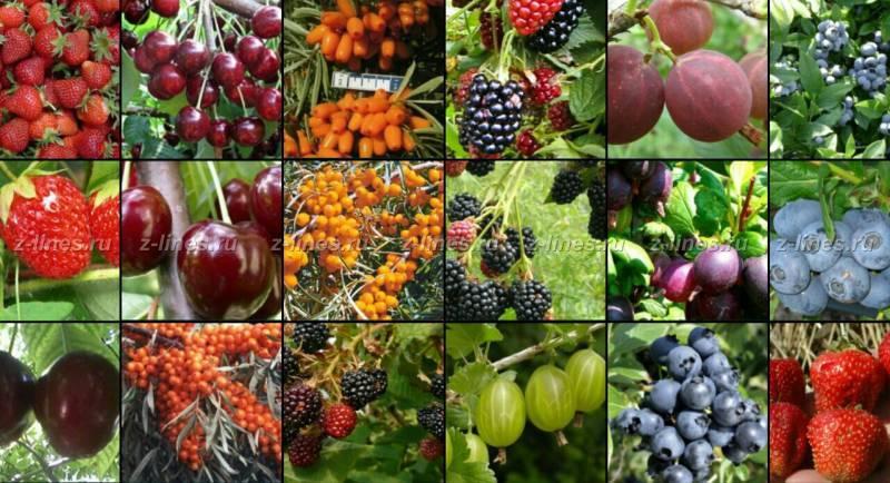 Плодовые кустарники | Посадка и уход за саженцами плодово ягодных кустарников | Плодовый питомник в Москве