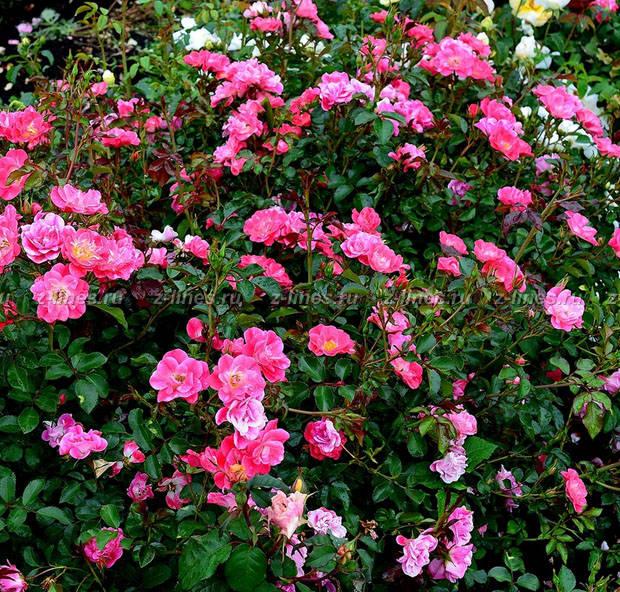 Розы почвопокровные посадка и уход 47